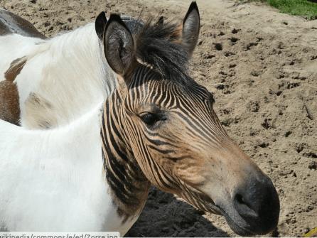 skrzyżowanie osła z zebrą czyli zebroid